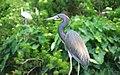 Heron (17934873430).jpg