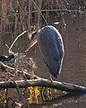 Heron 2 (5396490734).jpg