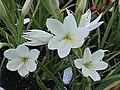 Hesperantha coccinea Alba1FYNU.jpg