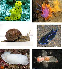Heterobranchia various examples 1.jpg