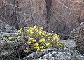 Heterotheca villosa kz04.jpg