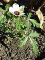 Hibiscus trionum sl25.jpg