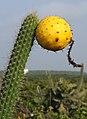 Higo Chumbo fruit (5840524148).jpg