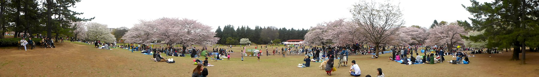 Hikarigaokapark-hanami-panorama-April4-2015 pagebanner.jpg