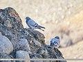 Hill Pigeon (Columba rupestris) (40571242573).jpg