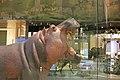 Hippopotamus amphibius IMG 1115.jpg