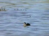 Dosiero:Hoary-headed Grebe96.ogv