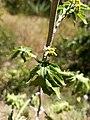 Hoja de Roldana heracleifolia.jpg