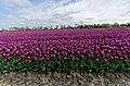 Hollands Kroon - 't Veld - Rijdersstraat - Panorama View on Tulips 12.jpg