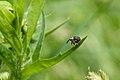 Homely weevil (6279307402).jpg