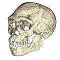 Homo sapiens from Jebel Irhoud.jpg