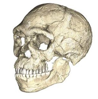 Jebel Irhoud - A composite reconstruction of the earliest known Homo sapiens fossils from Jebel Irhoud, based on micro computed tomographic scans of multiple original fossils.