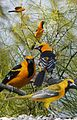 Hooded Oriole From The Crossley ID Guide Eastern Birds.jpg