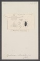 Hopatrinus - Print - Iconographia Zoologica - Special Collections University of Amsterdam - UBAINV0274 027 28 0004.tif