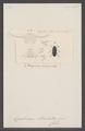 Hopatrinus - Print - Iconographia Zoologica - Special Collections University of Amsterdam - UBAINV0274 027 28 0004.tif