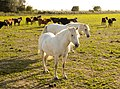 Horses in the Camargue 1.jpg