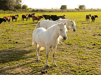 Camargue - Horses and cattle in the Camargue