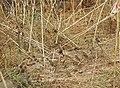 House Sparrow Passer domesticus by Raju Kasambe DSCN2160 (1) 03.jpg