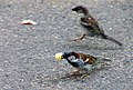 House Sparrows scavenging... (4747557545).jpg