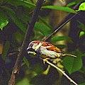 House sparrow (E) (8945371394).jpg