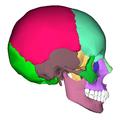 Human skull - lateral view2.png
