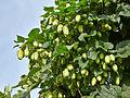 Humulus lupulus-IMG 9310.jpg
