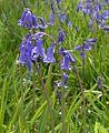 HyacinthoidesNonScripta.jpg