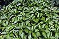 Hydrangea macrophylla Nikko Blue 4zz.jpg