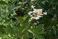Hydrangea paniculata 01.jpg