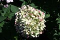Hydrangea paniculata Limelight 5zz.jpg