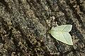 Hylophilodes rara (24411716722).jpg