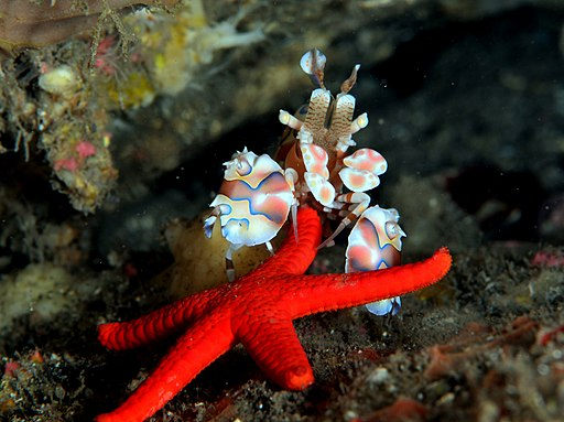 Hymenocera picta en train de retourner Fromia milleporella