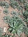 Hyoscyamus niger sl21.jpg