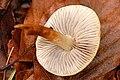 Hypholoma capnoides - Lindsey 2.jpg