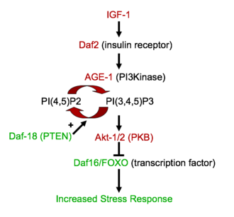 Disposable soma theory of aging - The IGF-1 pathway, which represses FOXO, thus preventing gene expression of longevity-inducing proteins.