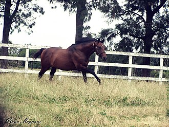 Invasor (horse) - Image: INVASORRRRR 093