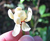 Idiospermum flower-cut