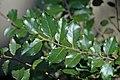 Ilex aquifolium (English holly) (Middletown, Ohio, USA) 6 (49113979337).jpg