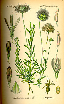 Illustration Jasione montana0.jpg