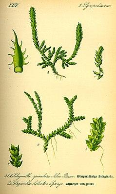 above: Thorny moss fern (Selaginella selaginoides) below: Swiss moss fern (Selaginella helvetica)
