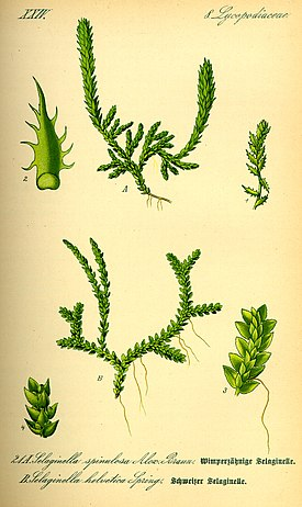Illustration Selaginella selaginoides0.jpg