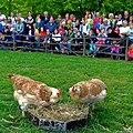 Im Wildpark Bad Mergentheim genießen auch die Nutztiere großes Interesse beim begeisterten Publikum. 08.jpg