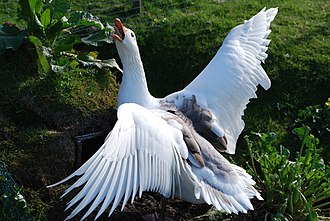 Faroese goose -  Goose in defensive position