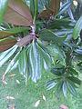 Immergrüne Magnolie (Magnolia grandiflora) Blattdetail.jpg