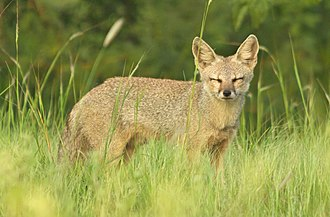 Vulpes - Image: Indian Fox in a Grassland