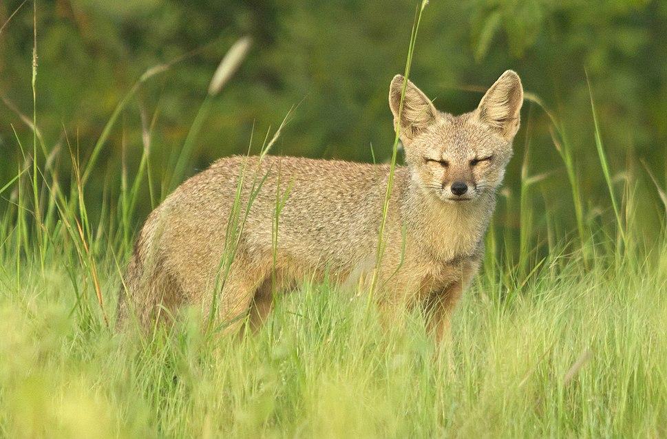 Indian Fox in a Grassland