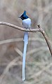 Indian Paradise Flycatcher Male.jpg