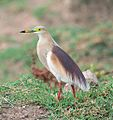 Indian Pond Heron Breeding Plumage (8975762682).jpg