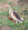 Indian Pond Heron Breeding Plumage (8975762682).jpg