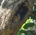 Indian or Collared Scops Owl. Otus bakkamoena - Flickr - gailhampshire.jpg